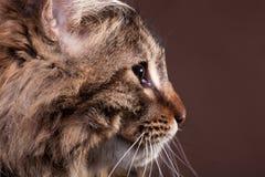 Gato de mapache magnífico de Maine en perfil en fondo marrón Imagenes de archivo