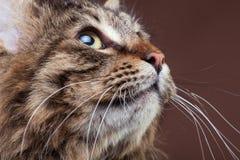 Gato de mapache magnífico de Maine que mira para arriba en fondo marrón del estudio Fotos de archivo