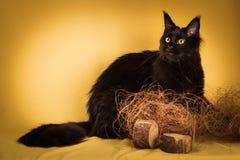 Gato de mapache negro de Maine en fondo amarillo Fotos de archivo