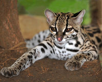 Gato de Margay o Caucel, reserva felina, Nicaragua, Fotos de archivo