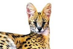 Gato de Margay, vaquinha isolado de 8 meses no fundo Copie o espaço imagem de stock