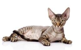 Gato de mentira del rex de Devon mirada de la cámara Imagen de archivo libre de regalías