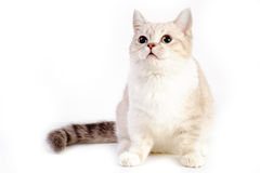 Gato de Munchkin Imagens de Stock Royalty Free