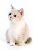 Gato de Munchkin Foto de Stock Royalty Free