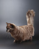 Gato de Munchkin Imagem de Stock Royalty Free
