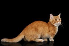 Gato de Munchkin en fondo negro Imágenes de archivo libres de regalías