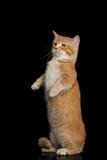 Gato de Munchkin en fondo negro Fotografía de archivo libre de regalías