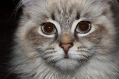Gato de Neva Masquerade imagem de stock