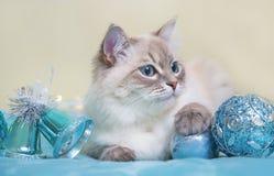 Gato de Neva Masquerade Fotografía de archivo