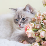 Gato de Neva Masquerade Imagenes de archivo