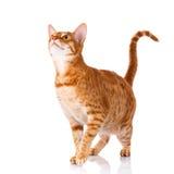 Gato de Ocicat em um fundo branco Fotografia de Stock