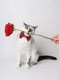 Gato de ojos azules mullido blanco en una corbata de lazo elegante en un fondo ligero que sostiene una rosa roja en sus dientes Foto de archivo libre de regalías