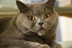 Gato de ojos marrones Fotos de archivo libres de regalías
