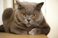 Gato de ojos marrones Fotografía de archivo