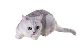Gato de ojos verdes de la raza británicos Shorthair Coloree Sh de plata negro Foto de archivo libre de regalías