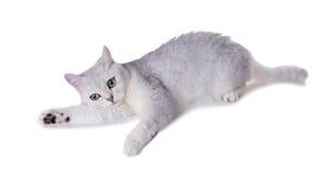 Gato de ojos verdes de la raza británicos Shorthair Coloree Sh de plata negro Fotos de archivo libres de regalías
