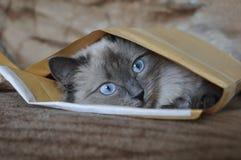 Gato no envelope Foto de Stock