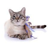 Gato de olhos azuis listrado com fitas Imagens de Stock Royalty Free