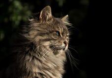 Gato de olhos azuis que olha transversalmente pet foto de stock royalty free