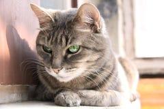 Gato de olhos verdes do olhar esperto Fotografia de Stock Royalty Free
