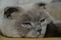 Gato de orejas ca3idas británico nombrado Bucks fotos de archivo