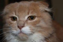 Gato de orejas ca3idas serio que mira la cámara Fotos de archivo