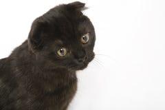 Gato de orejas ca3idas Foto de archivo