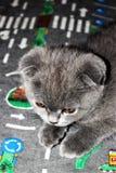 Gato de orelhas caídas azul escocês do gatinho lindo no tapete com sinais caros imagens de stock