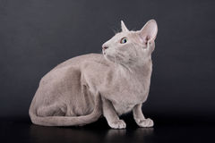 Gato de Oriental de la lila imagenes de archivo