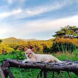 Gato de oro del color que descansa sobre banco de madera con Mountain View en el fondo imagenes de archivo