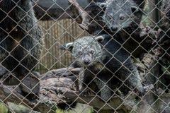 Gato de oso en jaula Imagen de archivo