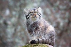 Gato de Pallas Imagem de Stock Royalty Free