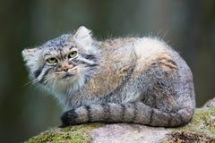 Gato de Pallas Foto de Stock