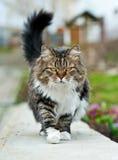 Gato de passeio Foto de Stock