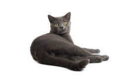 Gato de pelo corto británico gris Imágenes de archivo libres de regalías