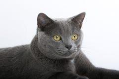 Gato de pelo corto británico gris Fotografía de archivo
