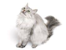 Gato de pelo largo Imagen de archivo libre de regalías