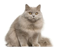 Gato de pelo largo británico, 15 meses, sentándose Foto de archivo libre de regalías
