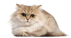 Gato de pelo largo británico, 3 años, mintiendo Foto de archivo