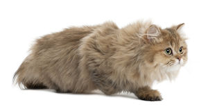Gato de pelo largo británico, 4 meses, recorriendo Fotos de archivo libres de regalías