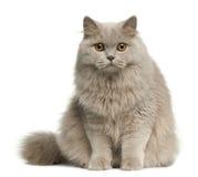 Gato de pelo largo británico, 8 meses, sentándose Imagen de archivo libre de regalías