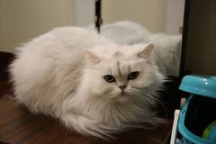 Gato de pelo largo británico del shinshilla blanco que miente cerca del espejo imágenes de archivo libres de regalías