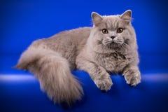 Gato de pelo largo británico en fondos coloreados Fotos de archivo libres de regalías