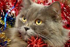 Gato de pelo largo británico envuelto en malla roja Humor del Año Nuevo, preparación en el Año Nuevo imagen de archivo libre de regalías