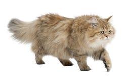 Gato de pelo largo británico, 4 meses, recorriendo Fotografía de archivo libre de regalías
