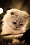 Gato de pelo largo del escocés del higlander Fotos de archivo libres de regalías