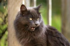 Gato de pelo largo gris que silba fotos de archivo libres de regalías