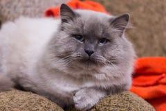 Gato de pelo largo que se sienta en el sofá imagenes de archivo