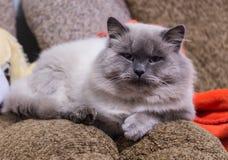 Gato de pelo largo que se sienta en el sofá fotografía de archivo
