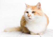 Gato de pelo largo rojo y blanco que se sienta en el piso blanco imagenes de archivo
